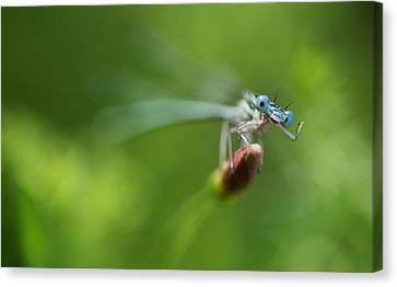 Curve Ball Canvas Print - Blue Dragonfly Sitting On A Dry Red Plant by Jaroslaw Blaminsky