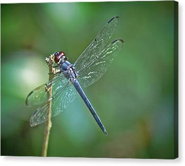 Canvas Print featuring the photograph Blue Dragonfly by Linda Brown