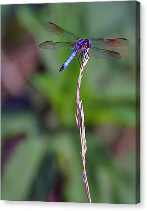 Blue Dragonfly On A Blade Of Grass  Canvas Print by Chris Flees