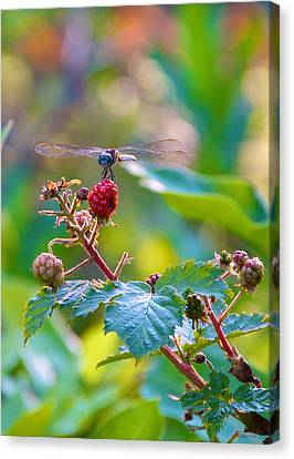 Blue Dragonfly On Berry Canvas Print