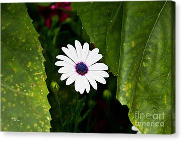 Blue Eye Daisy Canvas Print