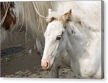 Blue Eyed Foal Canvas Print by Liz  Alderdice