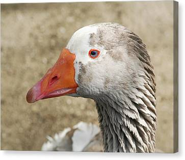 Blue-eyed Goose Canvas Print by Bob and Jan Shriner