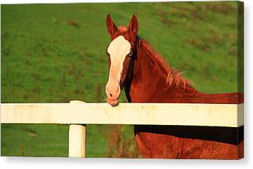 Blue Eyed Horse Canvas Print by Dan Sproul