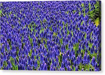 Blue Fields Canvas Print