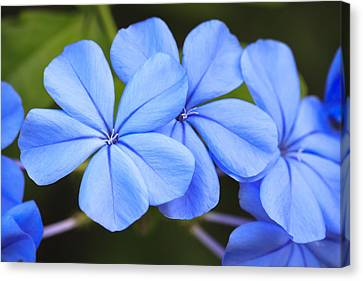 Nature Study Canvas Print - Blue Flax by Adam Romanowicz