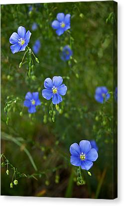 Canvas Print featuring the photograph Blue Flax by Mary Lee Dereske
