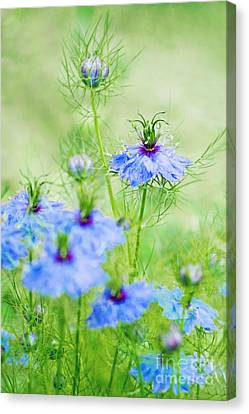 Blue Flowers Canvas Print by Diana Kraleva