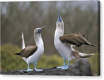 Blue-footed Boobies Courting Galapagos Canvas Print by Tui De Roy