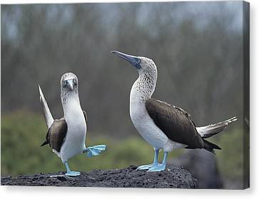 Blue-footed Booby Courtship Dance Canvas Print by Tui De Roy