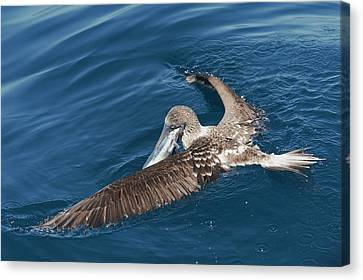 Blue-footed Booby Feeding Canvas Print by Christopher Swann
