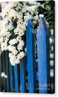 Blue Garden Fence With White Flowers Canvas Print