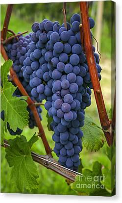 Blue Grapes Canvas Print by Patricia Hofmeester