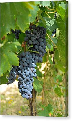 Blue Grapes Canvas Print by Paul Van Baardwijk