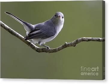 Blue-gray Gnatcatcher Canvas Print by Meg Rousher