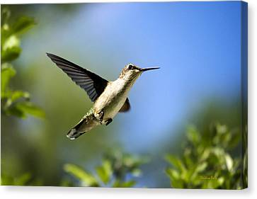Blue Green Hummingbird Art Canvas Print by Christina Rollo