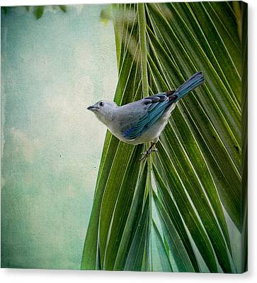 Blue Grey Tanager On A Palm Tree Canvas Print
