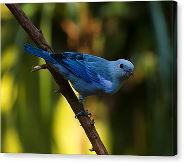 Blue Grey Tanager Canvas Print by Chris Flees
