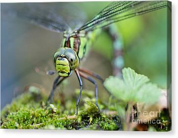 Dragonfly Eyes Canvas Print - Blue Hawker Dragonfly by Martin Capek