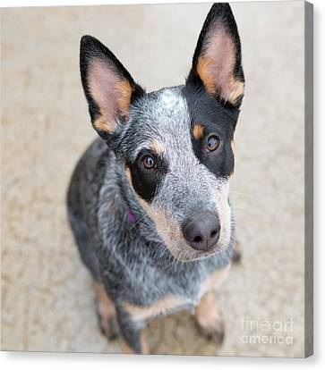 Blue Heeler 1 Canvas Print by Rebecca Cozart