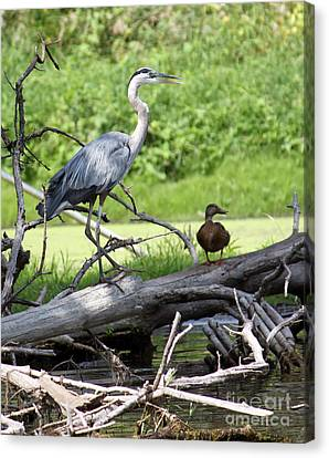 Blue Heron And Friend Canvas Print by Debbie Hart