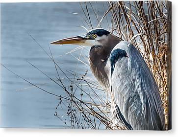 Blue Heron At Pond Canvas Print by John Johnson