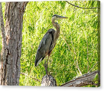 Blue Heron At Rest Canvas Print by John Johnson