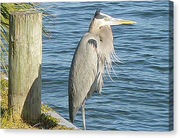 Blue Heron Canvas Print by Becky Sterling