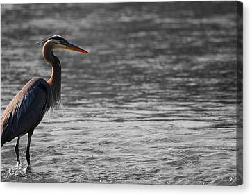 Blue Heron  Canvas Print by Dan Sproul