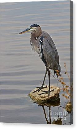 Blue Heron IIi Canvas Print