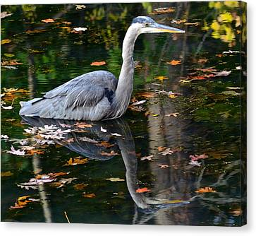 Blue Heron In Autumn Waters Canvas Print by Frozen in Time Fine Art Photography
