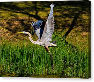 Blue Heron In Flight Canvas Print by John Johnson