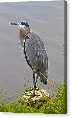 Blue Heron Iv Canvas Print