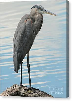 Canvas Print featuring the photograph Blue Heron  by Kenny Glotfelty