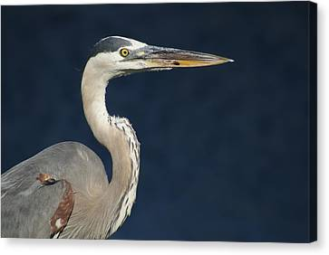 Blue Heron Canvas Print by Lois Lepisto