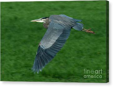 Blue Heron Canvas Print by Rod Wiens