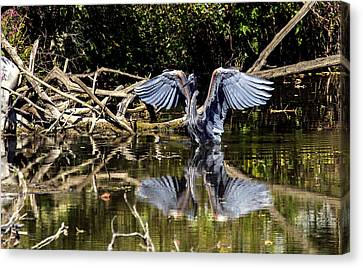 Blue Heron Stance Canvas Print by David Lester