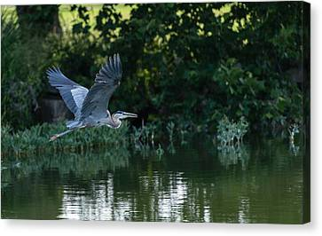Blue Heron Take-off Canvas Print by John Johnson