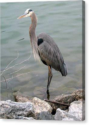 Blue Heron Canvas Print by Wendy Coulson