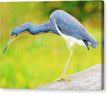 Blue Heron Canvas Print by William Wyckoff