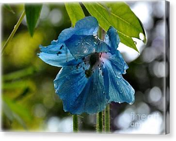 Blue Himalayan Poppy Canvas Print