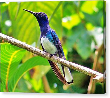 Canvas Print featuring the photograph Blue Humming Bird by Al Fritz