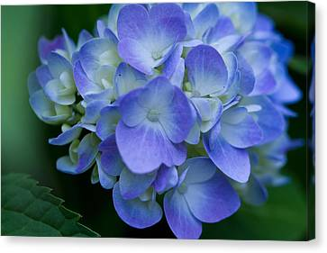 Canvas Print featuring the photograph Blue Hydrangea by John Hoey