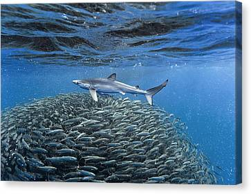 Blue Jack Mackerel And Shark Canvas Print by Science Photo Library