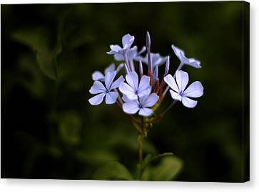 Blue Jasmine Canvas Print by Ramabhadran Thirupattur