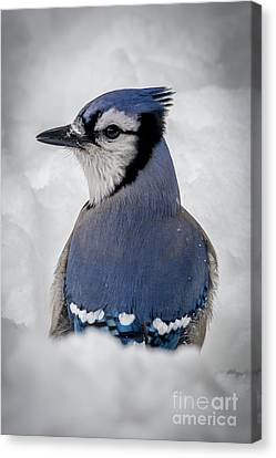 Blue Jay Alert Canvas Print