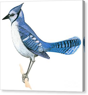 Blue Jay  Canvas Print by Anonymous