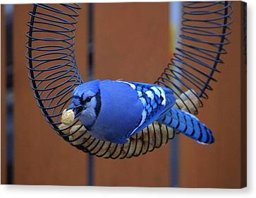 Blue Jay At The Feeder Canvas Print by Larry Trupp
