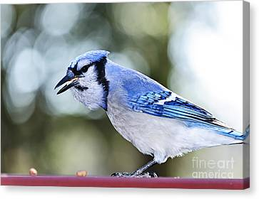 Blue Jay Bird Canvas Print by Elena Elisseeva