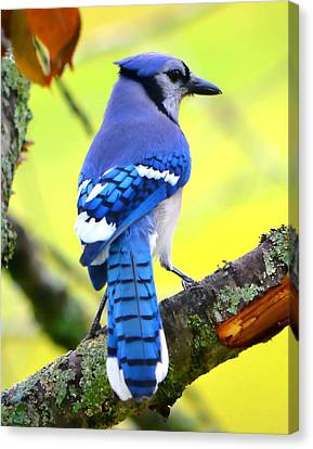 Canvas Print featuring the photograph Blue Jay by Deena Stoddard
